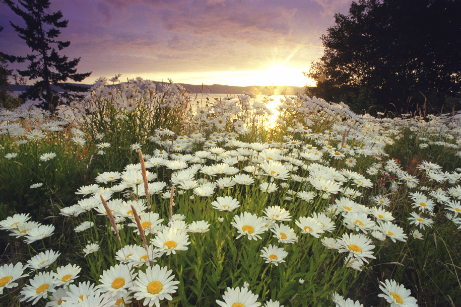 Daisys_iSt_1216907Small