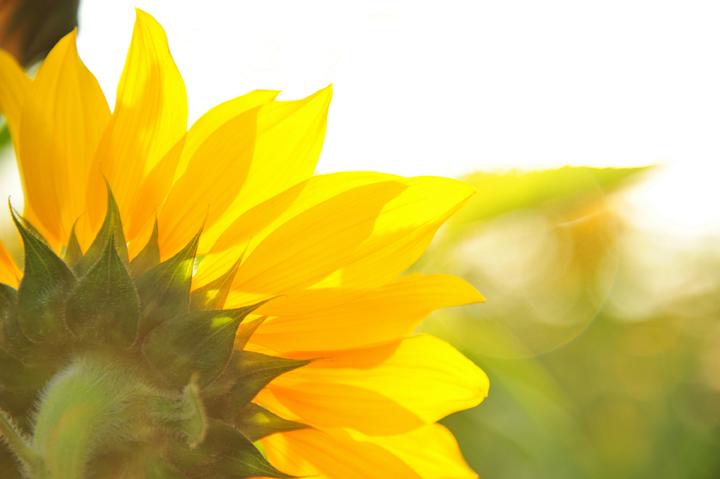 Sunflower_iSt_19307321Small